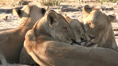 Group of female lions head rubbing and socializing Stock Footage