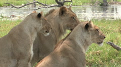 Pride of lions looking attentively at prey - stock footage