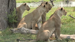 Pride of lions looking attentively at prey Stock Footage