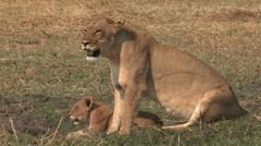 Lioness with three month old cubs Stock Footage