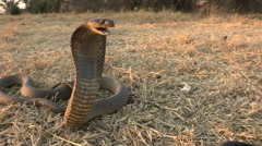 Snouted cobra with spread hood in aggressive posture Stock Footage