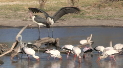 Yellow billed storks feeding and showing distinctive fishing behaviour Stock Footage