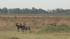 Stock Video Footage of Wild dog hunting Red Lechwe in the Okavango Delta