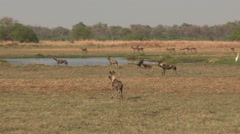 Wild dog hunting Red Lechwe in the Okavango Delta Stock Footage