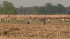 Wild dog hunting Red Lechwe in the Okavango Delta - stock footage