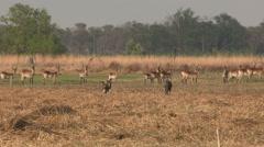Wild dog hunting Red Lechwe in the Okavango Delta - stock footage