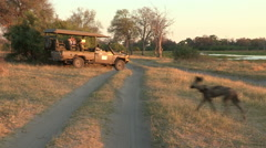 Wild dog hunting with tourist safari vehicle in the background Stock Footage