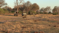 Wild dog hunting with tourist safari vehicle in the background - stock footage