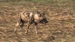 Single wild dog on the move - stock footage