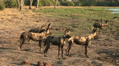 A pack of wild dogs watching out for prey in the Okavango Delta Stock Footage