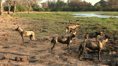 A pack of wild dogs watching out for prey in the Okavango Delta - stock footage