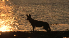 Wild dog in sihouette against the setting sun at rivers edge - stock footage