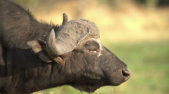 Cape buffalo bull with oxpecker in ear, then shakes head irriteably Stock Footage