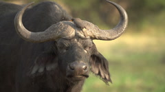 Cape buffalo bull with oxpecker sitting on its horns Stock Footage