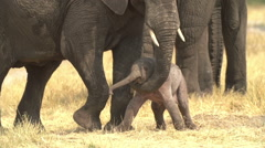 Incredible footage of newly born elephant being helped to stand by mother. Stock Footage
