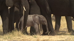Incredible footage of newly born baby elephant being assisted by its mother - stock footage