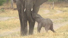 Incredible footage of newly born baby elephant being assisted by its mother Stock Footage