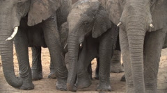 Baby elephants covered in mud surrounded by protective herd of adults Stock Footage