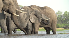 Breeding herd of elephants drinking at river in the Okavango Delta - stock footage