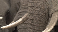 Tight shot of elephant trunk and tusks heavily encrusted with mud - stock footage