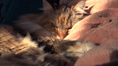A beautiful maine coon cat looks up from sleep. - stock footage
