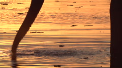 Elephant bull in silhouette drinking from river at sunset Stock Footage