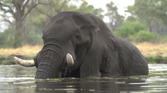 Elephant bull swimming and cooling off in river in the Okavango Delta - stock footage