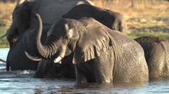 Elephant bull with trunk raised swimming and cooling off in river in the - stock footage