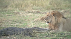 Male lion looking at crocodile - stock footage