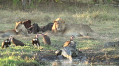 Stock Video Footage of Lion pride at buffalo carcass with vultures and crocodile