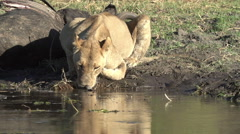Lioness drinking at waters edge at a river in the Okavango delta - stock footage