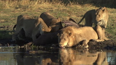 Male lion drinking at waters edge at a river in the Okavango Delta Stock Footage