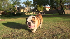 Slow motion of bulldog walking towards camera - stock footage