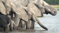 Slow motion of elephant herd drinking at river in Okavango Delta - stock footage
