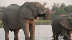 Slow motion of elephant bulls drinking at river in the Okavango Delta - stock footage