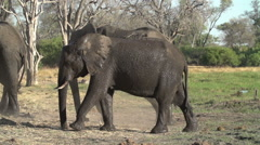 Slow motion of elephant bull dust bathing after swimming in river in the - stock footage