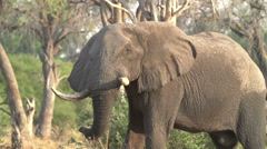 Slow motion of elephant shaking head irritably and releasing a cloud of dust - stock footage