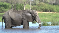 Slow motion of elephant bull mud bathing after swimming in river in the Okavango - stock footage