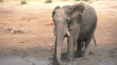 Slow motion of elephant bull using trunk to spray mud over himself - stock footage