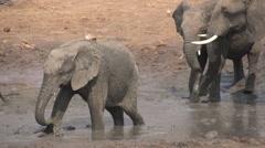 Slow motion of elephant family mud bathing Stock Footage