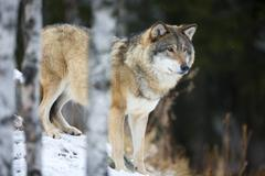 Wolf standing in the snow - stock photo