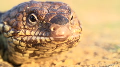 Slow motion of blue-tongued skink displaying characteristic blue tongue Stock Footage