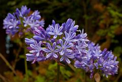 Blue African Lily (Agapanthus Africanus) - stock photo