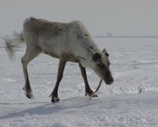Nenet go hunting reindeers with lasso Stock Footage