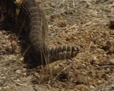 Rattlesnake in the Sonoran Desert Stock Footage
