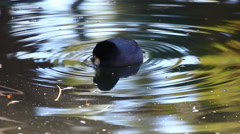 An American Coot seen in a circle of ripples Stock Footage