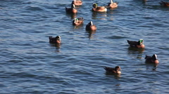 A winter flock of American Wigeon Stock Footage