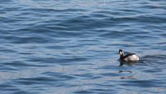 An Eared Grebe, Podiceps nigricollis, swimming on open water Stock Footage