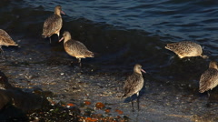 Stock Video Footage of Marbled Godwits search for food