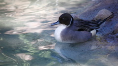 An elegant male Northern Pintail Stock Footage